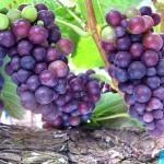 Pinot_Noir_Grapes_Ripening